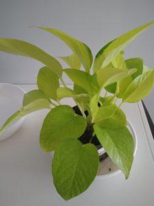 観葉植物ポトス